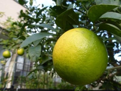 レモン 2014 11・10