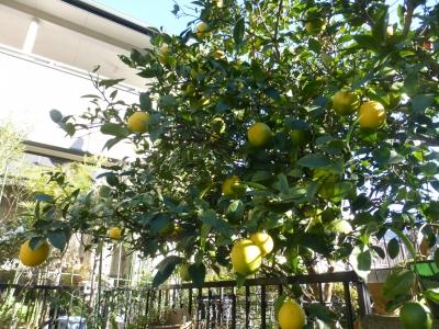 レモン 2014 12・3