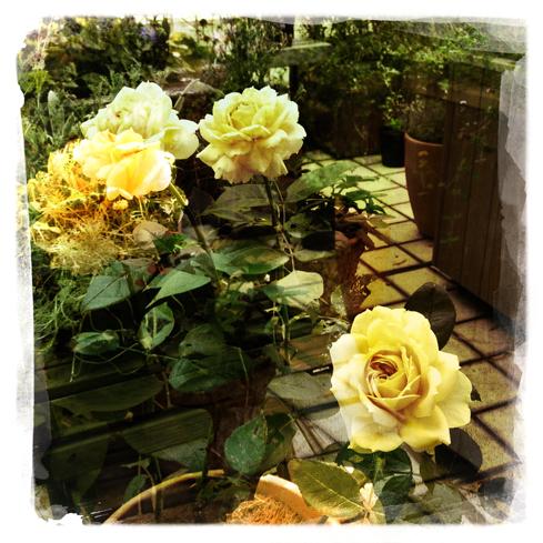 黄色いバラの意味