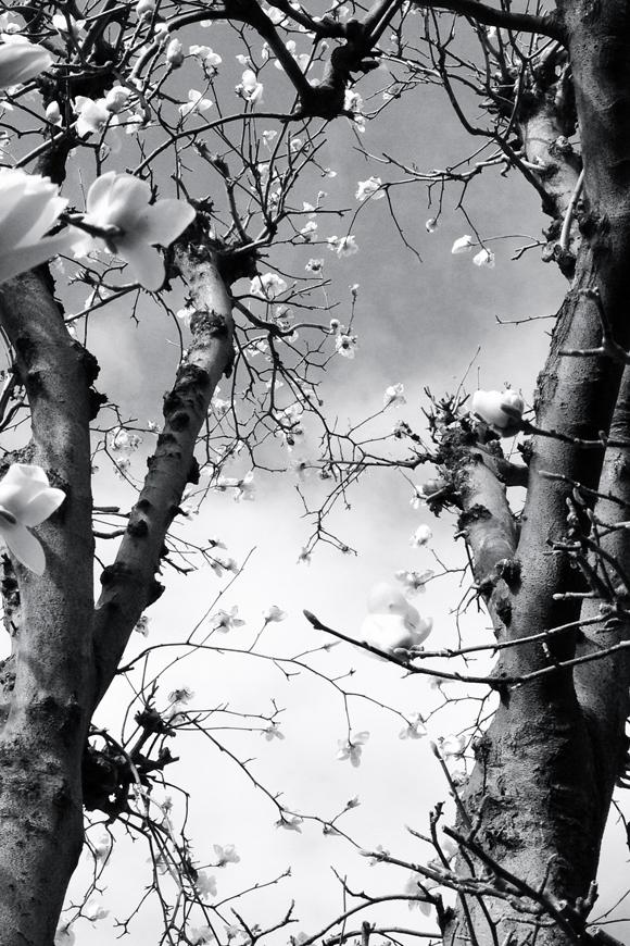 ハクモクレンの空