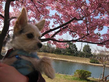 河津桜と 312