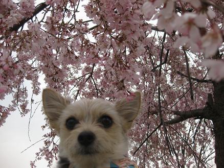 枝垂れ桜と 323