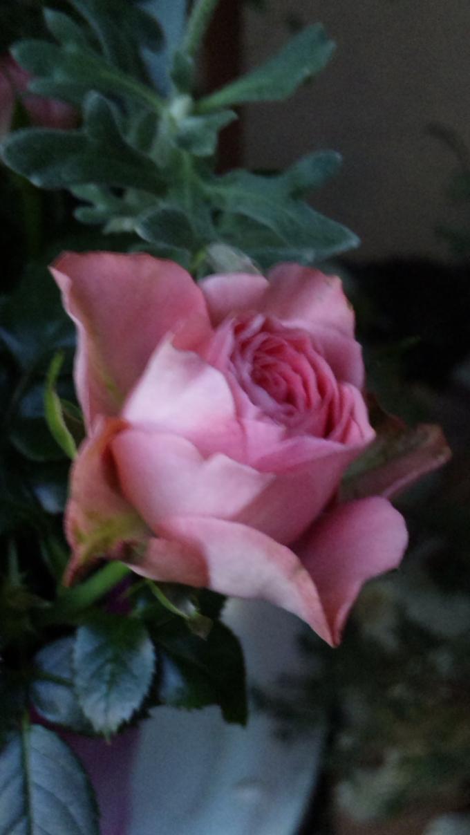 MINI    ROSE_20121120