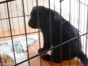 新しいラブラドールレトリバーに会いに :エクステリア横浜 愛犬と過ごすお庭空間のご相談をお受けしております。