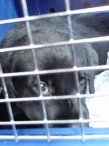 今日からうちの子 ラブラドールレトリバー :エクステリア横浜 愛犬と過ごすお庭空間のご相談をお受けしております。