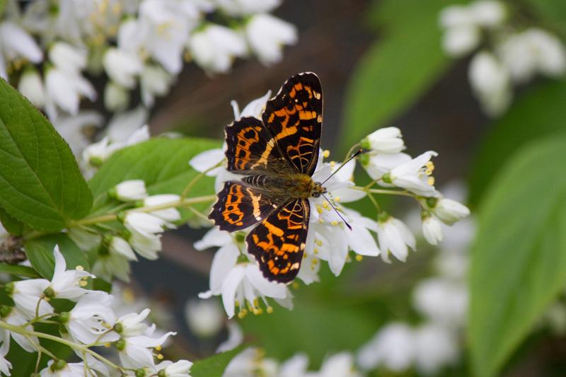 サカハチチョウ 春型