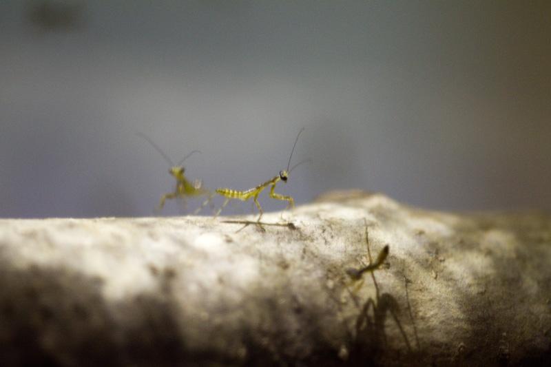ハラビロカマキリ 幼虫