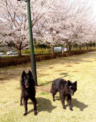 リーラ2012@桜2