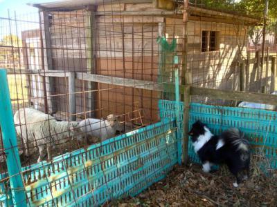 羊の親子とフィーリ