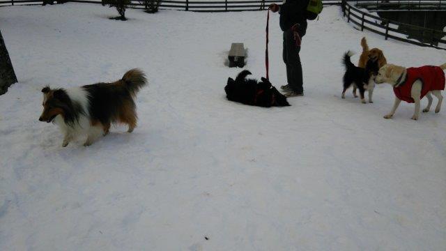 あんじゅ。雪のドッグラン2