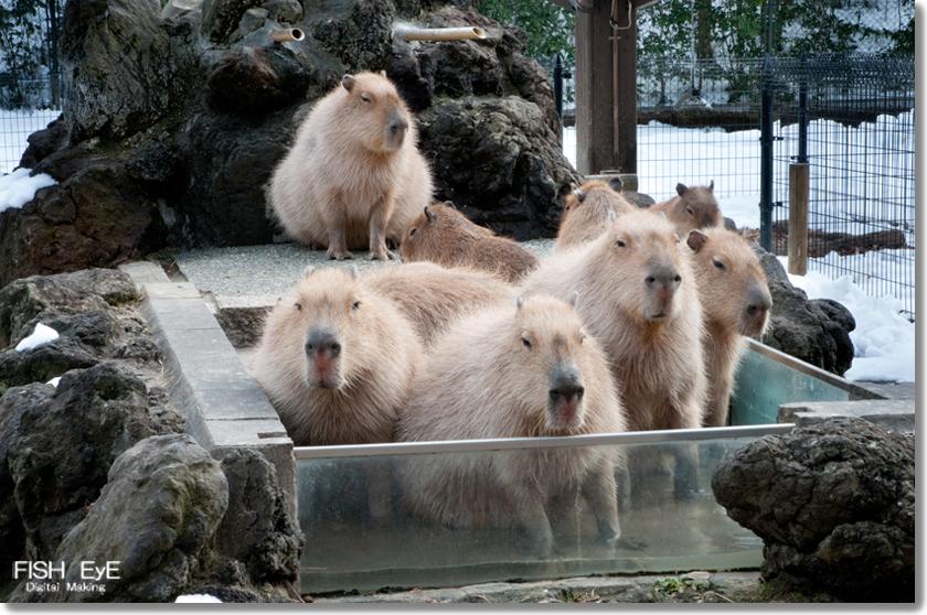 140207-kapibara1.jpg
