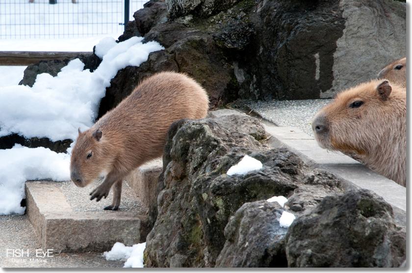 140207-kapibara2.jpg