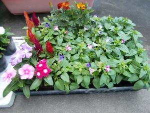 夏花の苗1