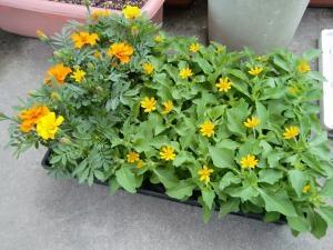 夏花の苗3