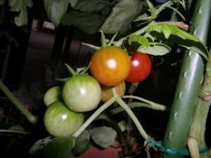プチトマト2012.7.5
