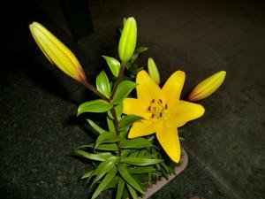 スカシユリ黄