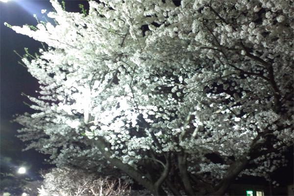 2012夜桜