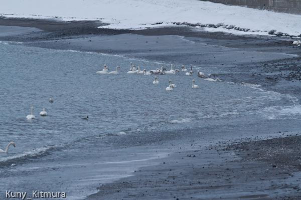 海岸の白鳥