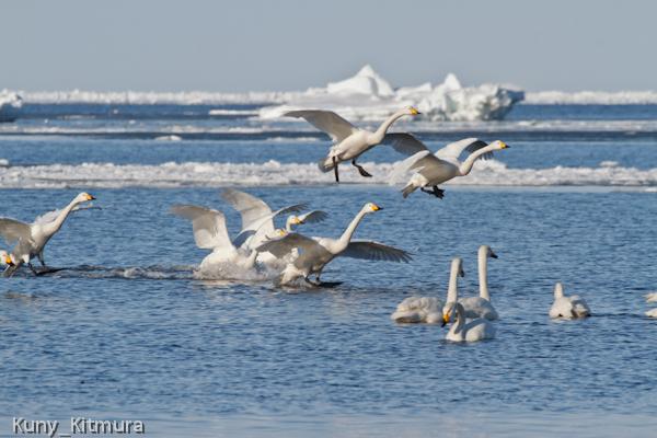 白鳥と流氷