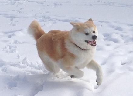 akita犬