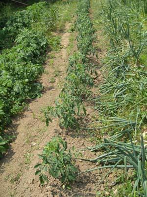 トマトの支柱2012 1