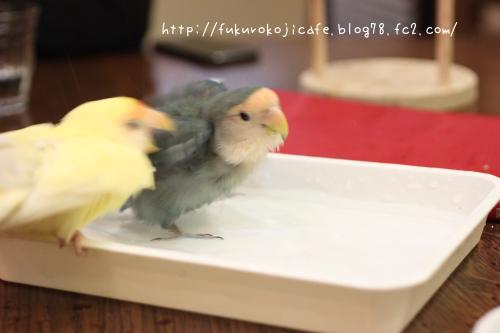 ブルーちゃん水浴び3