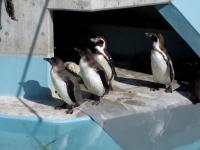 Bird フンボルトペンギン 須坂動物園 130209_cIMG_0339