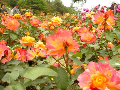rosefesta4.jpg