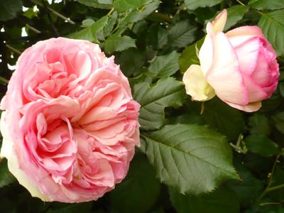 rosefesta6.jpg