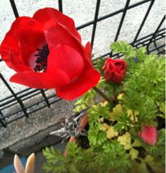赤い庭のアネモネ