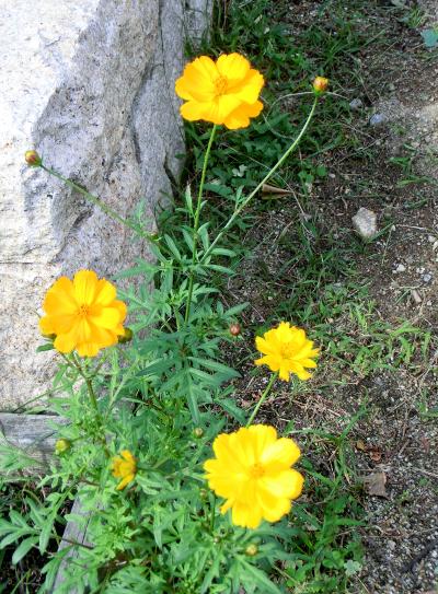 141126-散歩道の花①-1