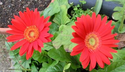 141129-我が家の花④-1