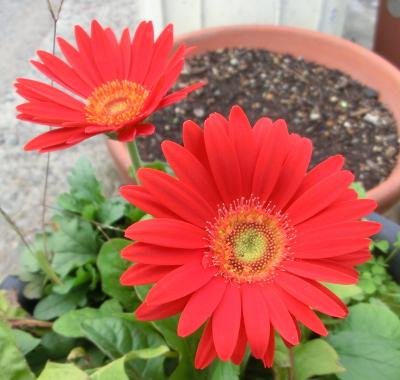 141129-我が家の花④-2