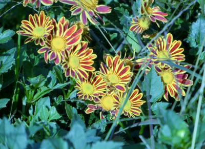 141129-散歩道の花②-4