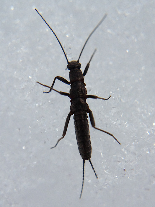 Capniidae sp.