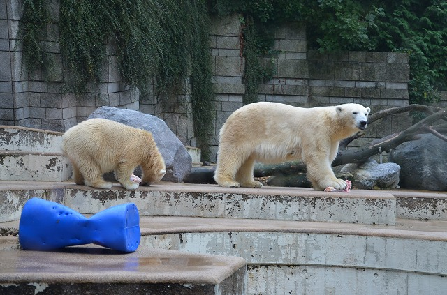 Polar_bear02