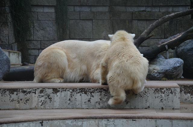 Polar_bear03