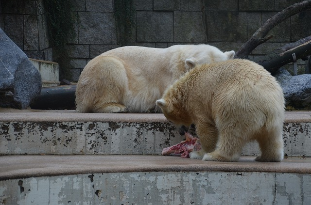 Polar_bear04