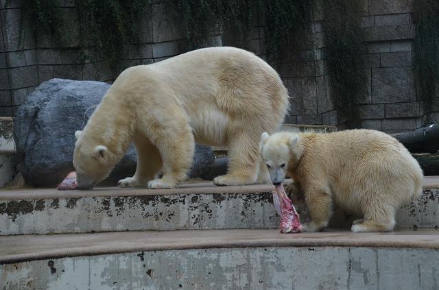 Polar_bear05