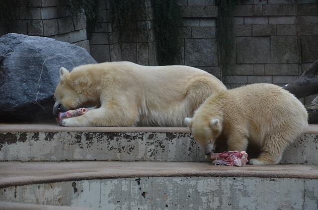 Polar_bear06