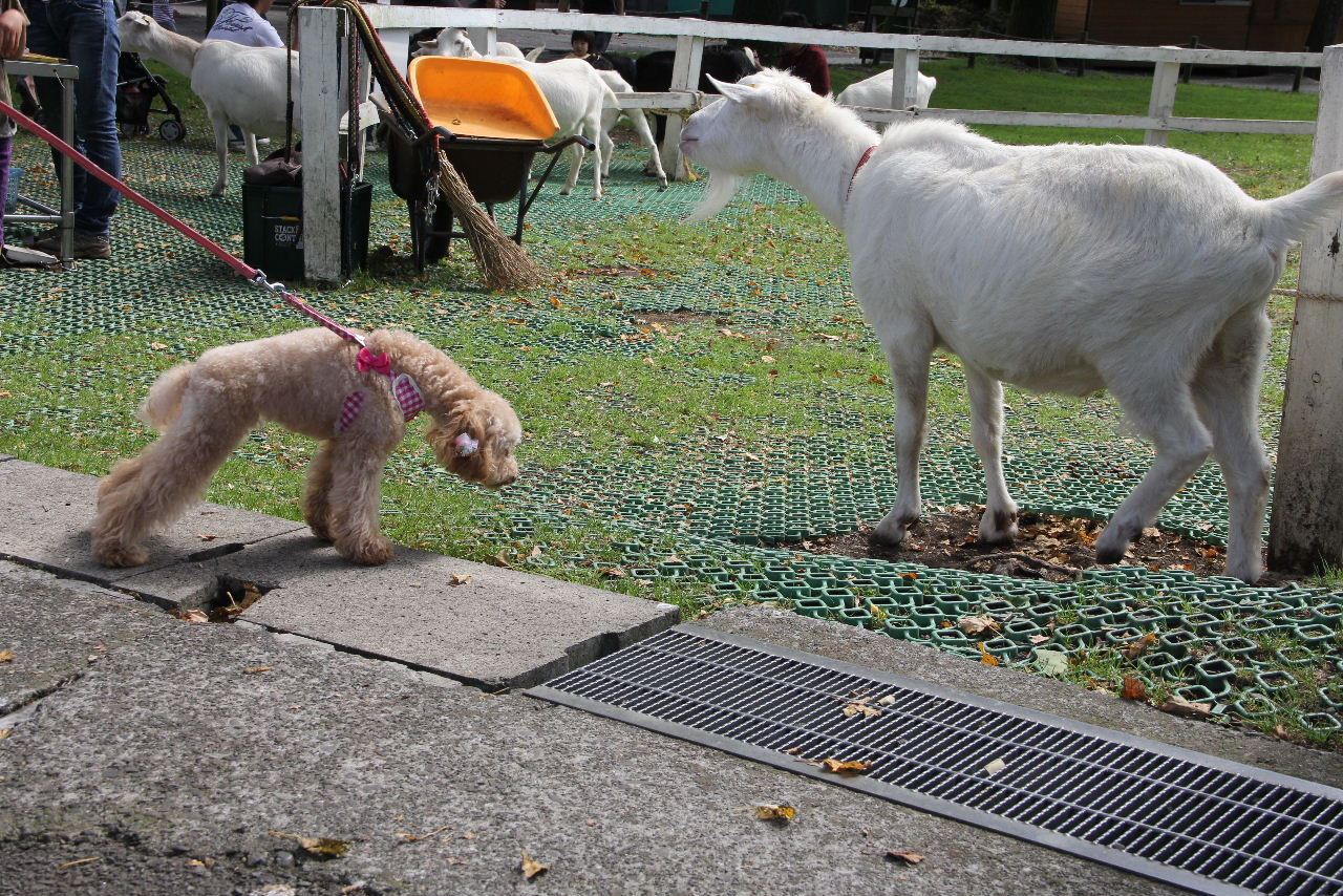 ヤギとココア