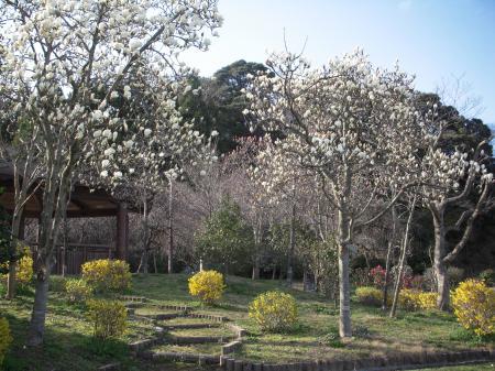 鹿野温泉公園 木蓮