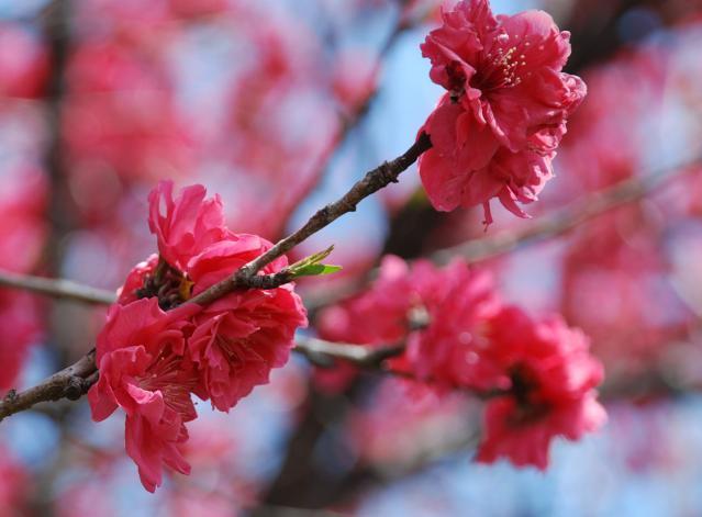 DSC_0002  桜