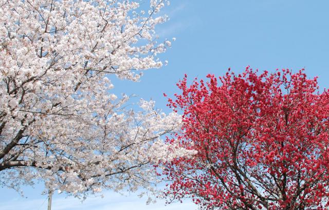 DSC_0005 桜