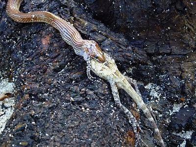 ヘビがトカゲを丸呑み!