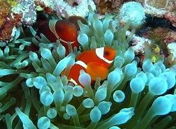spincheak anemonefish