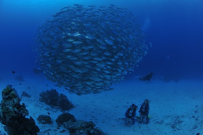 School of bigeye jackfish at German Channel