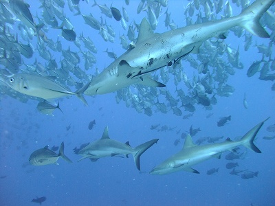 greyreef shark at blue corner Palau