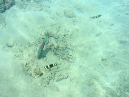 サピ島 泳ぐ魚