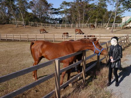 与那国馬牧場でのエサやり